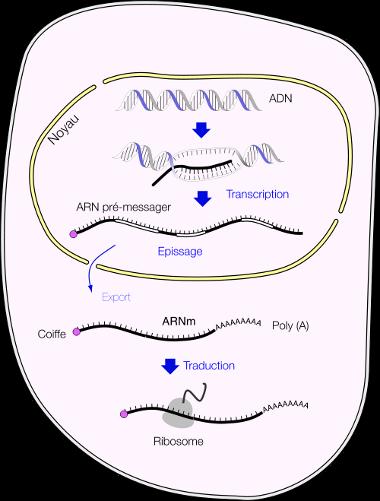 mRNA_fr_380