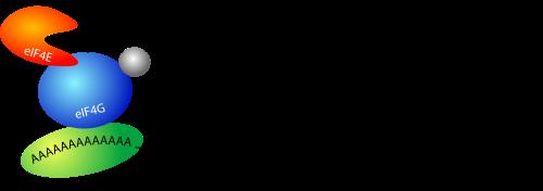 mRNAcircle