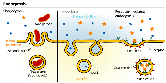 Endocytosis_types_580