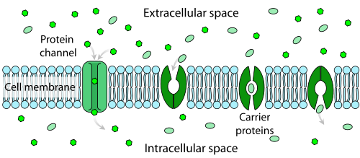 Facilitated_diffusion_in_cell_membrane_360