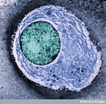 Condrocite_nucleus_blue_wellcome_210
