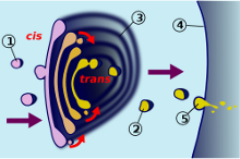 Dictiosome_220