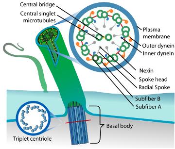 Eukaryotic_cilium_diagram_360