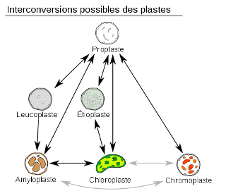 Plastids_conversions-fr_320