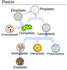 Plastids_types_es_220