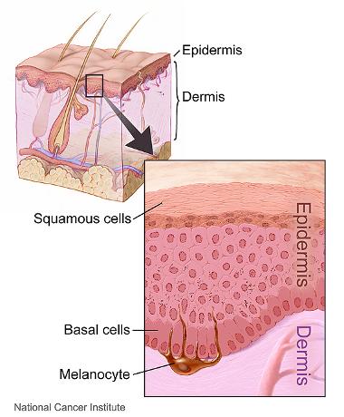 Epidermis_380