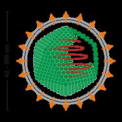 Enveloped_icosahedral_virus_250