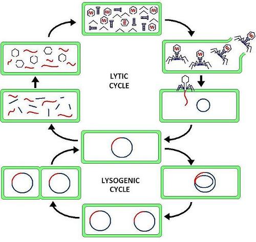 Phage_cycles_500